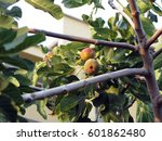 Ripe And Juicy Figs On A Tree