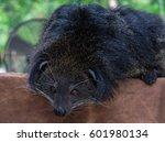 binturong animal at open air... | Shutterstock . vector #601980134