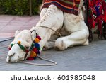 Small photo of Kitten trying to get acquainted with the camels lying on the ground.
