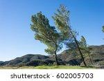 Wind Blown Pine Trees Lean On A ...