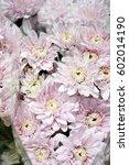 chrysanthemum | Shutterstock . vector #602014190