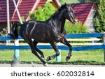 Stock photo black horse galloping on horse farm show 602032814
