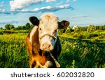 cow calf portrait in pasture... | Shutterstock . vector #602032820