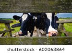Two Black White Cows At Farm...