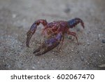 Small photo of red crustacean on sand