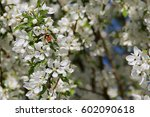Small photo of Bumblebee Working on the Blossoms of a Fruitless Pear Tree