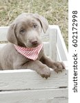 Small photo of Silver lab puppy