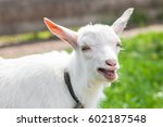funny white baby of goat on the ... | Shutterstock . vector #602187548