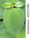 Small photo of Tibouchina grandifolia glory bush (Melastomataceae family)