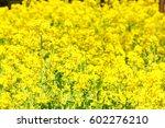 canola flower | Shutterstock . vector #602276210