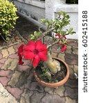 Small photo of Adenium obesum or Desert Rose or Impala Lily or Mock Azalea flower.