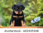 Stock photo rottweiler puppy sitting outdoors 602435348