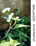 Small photo of white ageratum or billygoat weed / goatweed plant flowers close up. Spring and summer nature concept. Daylight saving time (DST)