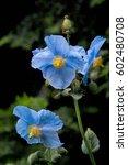 Sky Blue Flowers Of Himalayan...