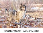 hunting scene with dogs. east... | Shutterstock . vector #602547380