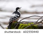 woodpecker on tree  beautiful... | Shutterstock . vector #602550440