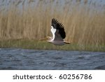 great white pelicans  pelecanus ... | Shutterstock . vector #60256786