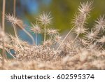 Dry Plant With Many Small...