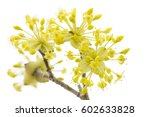 Blooming Cornelian Cherry On...