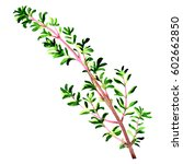 twig of fresh thyme herb leaves ... | Shutterstock . vector #602662850