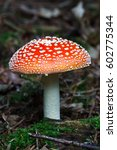 Small photo of Amanita muscaria mushroom in a forest