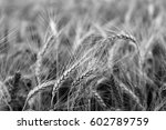 Wheat Field.black And White...