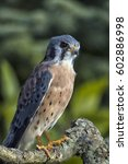 Small photo of American Kestrel Perched on Branch