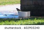 a thirsty bird tries to drink... | Shutterstock . vector #602903240