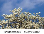 Magnolia Denudata Flowers And...