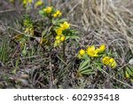 Small photo of The Leontice (Gymnospermium odessanum) blossom in spring meadow.