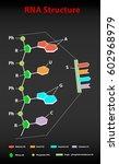 rna structure scheme education...   Shutterstock .eps vector #602968979