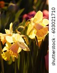 Small photo of Narcissuses close up vertically. Macro. Amaryllidaceae family. Narcissus