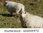 Welsh Mountain Sheep Ewes A...
