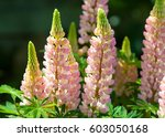 Lupine  Lupin. A Plant Of The...