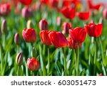 tulips. a bulbous spring... | Shutterstock . vector #603051473