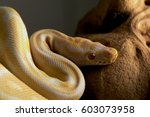 Albino Royal Python Snake With...