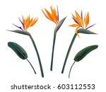 strelitzia reginae flower... | Shutterstock .eps vector #603112553