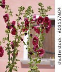 Small photo of Closeup red hollyhocks (Alcea rosea) flowers