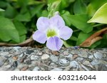 Flower Of Chinese Violet  ...