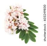 Small photo of Acacia blossom isolated on a white background.