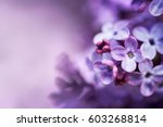 Purple Lilac Flowers Spring...