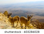 Small photo of Wild Goats on mountains, South Israel
