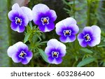 Close Up Of Blue Pansy Flower_...