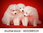 Three White Puppy Of Samoyed...