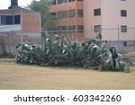 Small photo of huge maguey plants are over 25 years old. Maguey is in the agave family and used for cooking and making liquor. it is also known as agave americana or american aloe