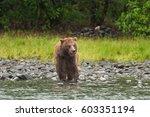 grizzly bear  ursus arctos ... | Shutterstock . vector #603351194