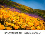 california poppies and... | Shutterstock . vector #603366410