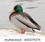wild duck standing near the...   Shutterstock . vector #603379274