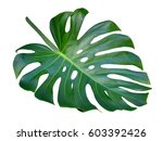 monstera leaf and stem  trendy... | Shutterstock . vector #603392426