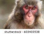 Wild Japanese Monkey In Beppu ...